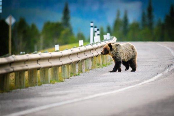 bear-banffNP.jpg