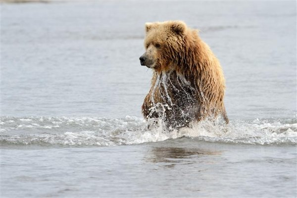 grizzly-fishing.jpg